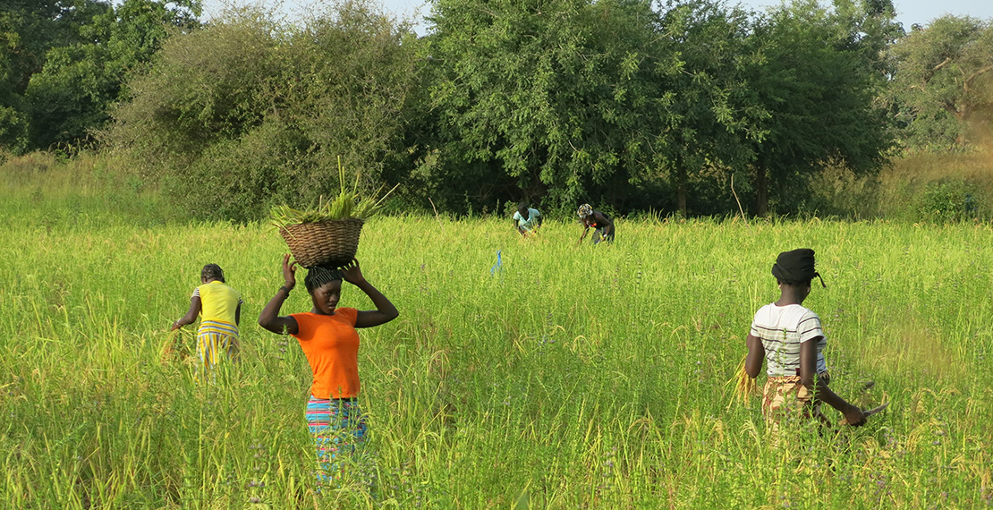 Agricultural work in The Gambia
