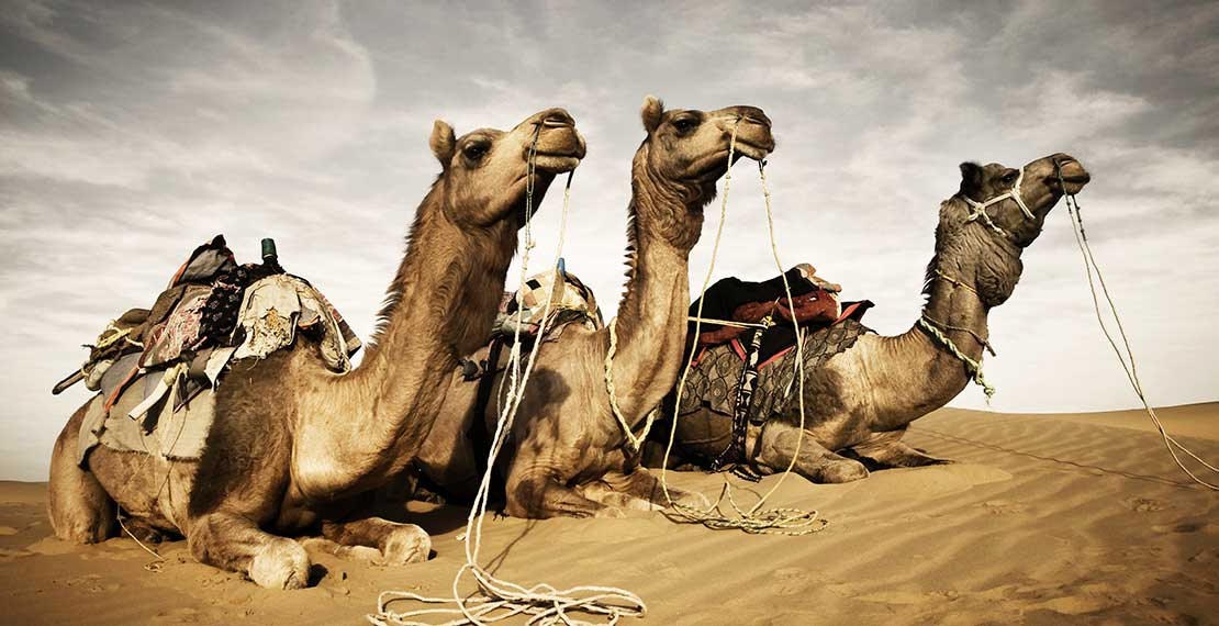 picture of 3 camels