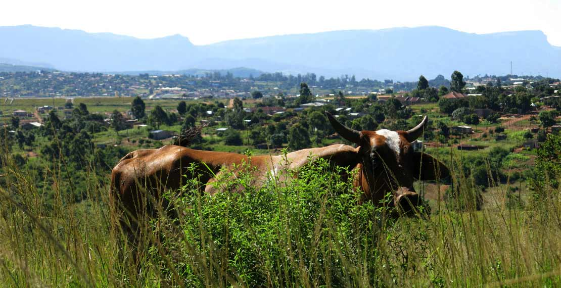 a picture of South African landscape with a cow